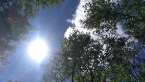 Bovenkant van de bomen van de de zomerberk met zon het glanzen stock video
