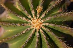 bovenkant van een cactus met doornen stock foto's