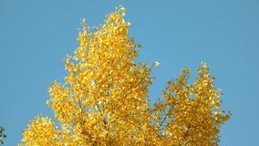 Bovenkant van een gele de herfstboom stock footage