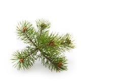 Bovenkant van een pijnboom Royalty-vrije Stock Afbeeldingen
