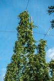 Bovenkant van hopinstallatie met overvloed van kegels, Bewezen België royalty-vrije stock foto
