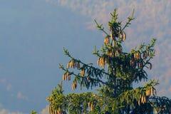 Bovenkant van nette die boom met kegels door gouden zonlicht worden aangestoken royalty-vrije stock foto's