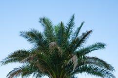 Bovenkant van palm tegen duidelijke blauwe hemel Stock Afbeelding