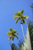 Bovenkant van palmen bij zonnige dag in Daklak, Vietnam Stock Foto