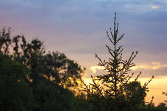 Bovenkant van pijnboomboom met vage zonsondergangachtergrond Stock Afbeeldingen