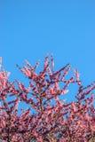 Bovenkant van Roze Cherry Blossom Tree Against Sky royalty-vrije stock afbeeldingen