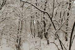 Bovenkanten en kronen van bomen met sneeuw tegen de blauwe hemel worden behandeld die Stock Fotografie