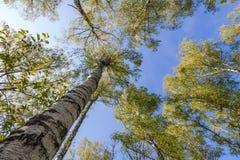 Bovenkanten van bomen met groene bladeren in bos en blauwe hemel in de lente Royalty-vrije Stock Foto's