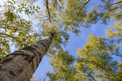 Bovenkanten van bomen met groene bladeren in bos en blauwe hemel in de lente Royalty-vrije Stock Afbeelding