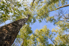 Bovenkanten van bomen met groene bladeren in bos en blauwe hemel in de lente Royalty-vrije Stock Fotografie