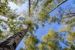 Bovenkanten van bomen met groene bladeren in bos en blauwe hemel in de lente Stock Foto's