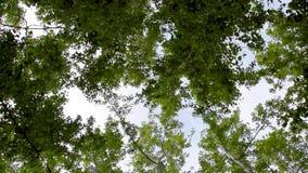 Bovenkanten van groene bomen stock video