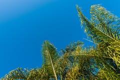 Bovenkanten van groene palmen met een blauwe hemelachtergrond royalty-vrije stock fotografie
