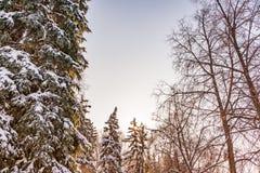 Bovenkanten van nette die bomen met verse sneeuw op een duidelijke de winterdag tegen een blauwe hemel worden behandeld stock foto