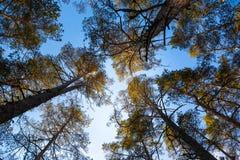 Bovenkanten van pijnboom dewevies tegen de achtergrond van de zonnige blauwe hemel royalty-vrije stock afbeeldingen