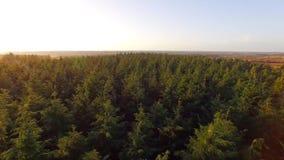 Bovenkanten van pijnboombomen in een bos stock video
