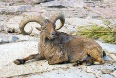 Bovid för däggdjur för ArgaliartiodactylRAM horn Royaltyfria Bilder