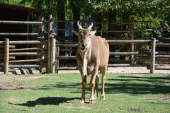 Bovin tout en mangeant au zoo photo libre de droits