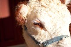 bovine глаз стоковые фотографии rf