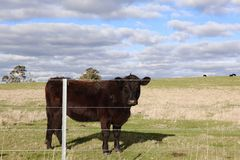 Large Black Cow in Paddock Behind Fence stock photography