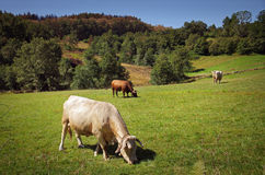 Bovine Cattle Stock Photo