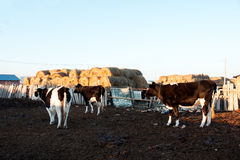 Bovine cattle out of the loop Royalty Free Stock Photos