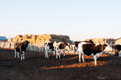 Bovine cattle out of the loop. China's Inner Mongolia hulun buir grassland pastures Stock Photos