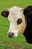 Bovine headshot. A holstein heifer on a farm at Masterton, NewZealand Royalty Free Stock Images