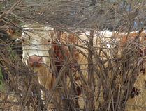 Bovine peek-a-boo. A cow peering through a fence and bush Stock Image