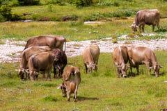 Bovines grazing Stock Images