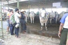 Bovini da carne pronti a vendere Fotografia Stock