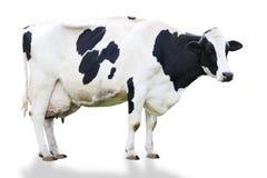 Bovini da latte fotografia stock libera da diritti