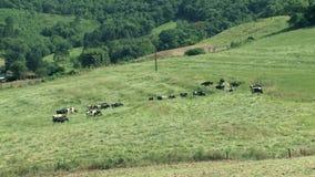 Bovini da latte sul campo stock footage