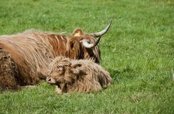 Bovins écossais Photos libres de droits