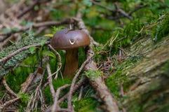 Bovinus de Suillus s'élevant dans la forêt, également connue sous le nom de champignon de vache à débardeur ou bolete bovin images libres de droits