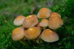 Bovinus de Suillus s'élevant dans la forêt, également connue sous le nom de champignon de vache à débardeur ou bolete bovin image stock