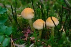 Bovinus de Suillus s'élevant dans la forêt, également connue sous le nom de champignon de vache à débardeur ou bolete bovin photo stock