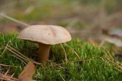 Bovinus di suillus, anche conosciuto come il fungo o il bovino della mucca del Jersey fotografie stock libere da diritti