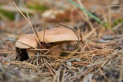 Bovinus di suillus, anche conosciuto come il fungo o il bovino della mucca del Jersey immagine stock libera da diritti