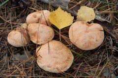 Bovinus di suillus, anche conosciuto come il fungo o il bovino della mucca del Jersey fotografia stock