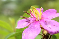 Bovitiya-Blume in Sri Lanka Lizenzfreie Stockfotografie