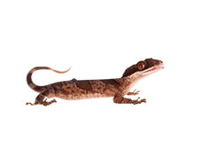 Bow-fingered gecko on white Royalty Free Stock Images