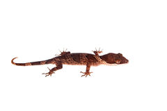 Bow-fingered gecko on white Royalty Free Stock Photo