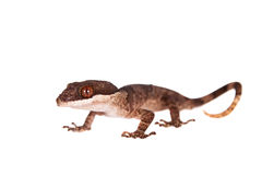 Bow-fingered gecko on white Stock Images