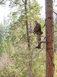 Bow hunter up a tree Stock Image
