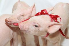 Bow Piglets. Two Small Pink Piglets Playing With Red Bow royalty free stock photos