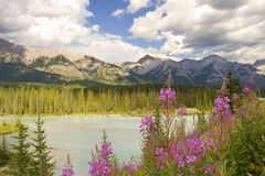 Bow river. Wild mountain flowers royalty free stock images
