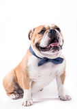 Bow tie on the bulldog Stock Image