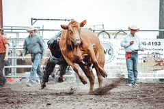 Free Bowden, Alberta, Canada, 26 July 2019 / Moments From The Bowden Daze, The Town`s Rodeo. Cow Riding, Wild Cow Running Around Stock Image - 159149621
