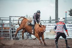 Free Bowden, Alberta, Canada, 26 July 2019 / Moments From The Bowden Daze, The Town`s Rodeo. Cow Riding, Wild Cow Running Around Royalty Free Stock Photos - 159244978